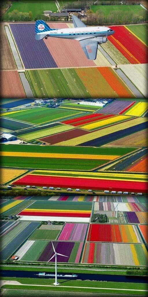 زهور التوليب في هولندا