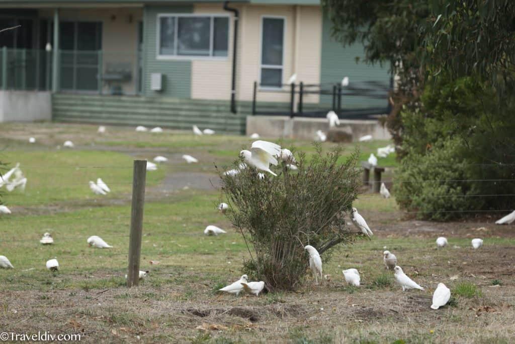 ببغاء الكوكاتو في استراليا