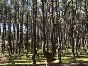الغابات الراقصة في كالينغراد